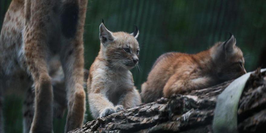 Rusya'daki hayvanat bahçesinde yavru vaşaklar