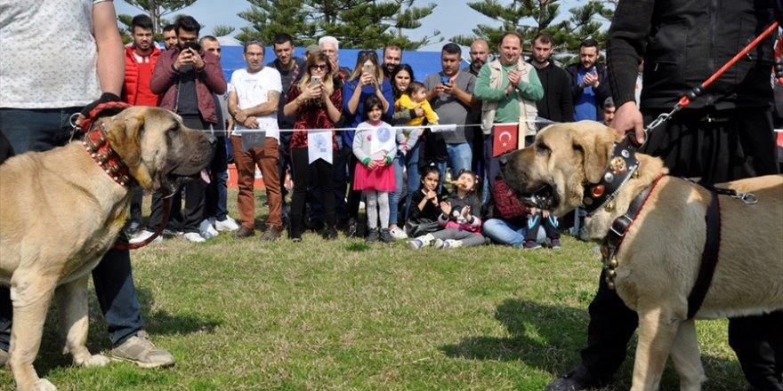 Milli takıma seçilecek yerli ırk köpekler için yarışma