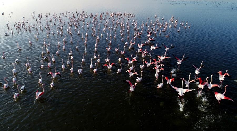 Kış mevsimi ılıman geçince flamingolar göç etmedi 1