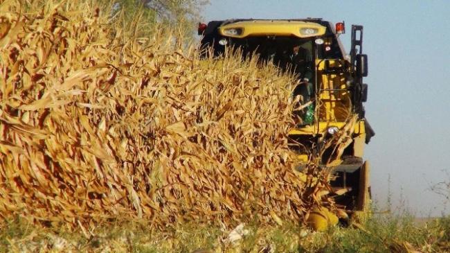 Çukurova'da mısır hasat şenliği