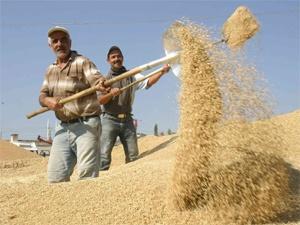 Çukurova'da buğday hasadı tamamlandı...