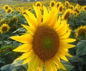 Çukurova'da ayçiçeği hasadı başladı...
