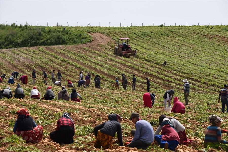 Adana'da bu sezon 230 bin ton patates hasadı bekleniyor