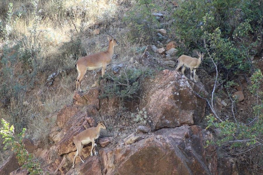 Dağ keçisi ve geyiklere ziyaretçi ilgisi