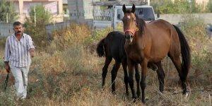 Çalındı denilen İngiliz atı ve yavrusu bulundu