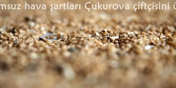 Buğday 1,55 liradan işlem gördü
