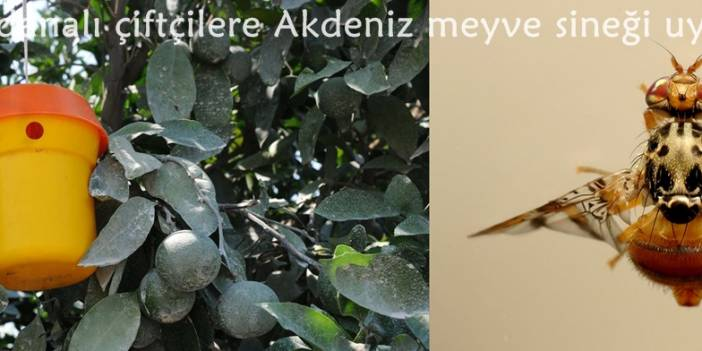 Adanalı çiftçilere Akdeniz meyve sineği uyarısı