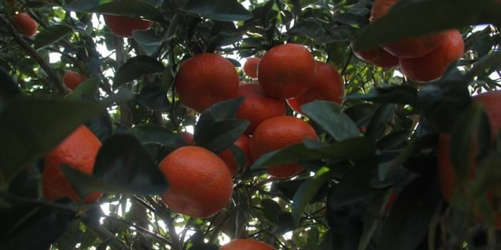 Almanya ve Hollanda'nın mandalinası Adana'dan