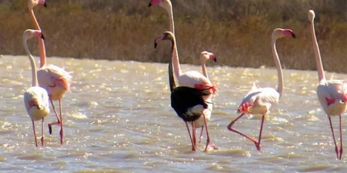 Siyah flamingo ikinci kez Türkiye'de