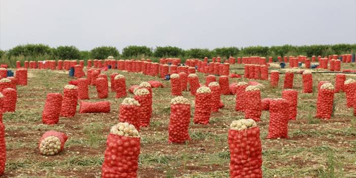 Adana'da bu sezon 140 bin ton turfanda kuru soğan rekoltesi bekleniyor