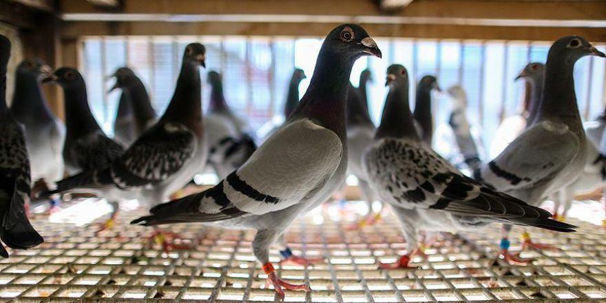 Posta güvercini: Bir yuvaya dönüş öyküsü